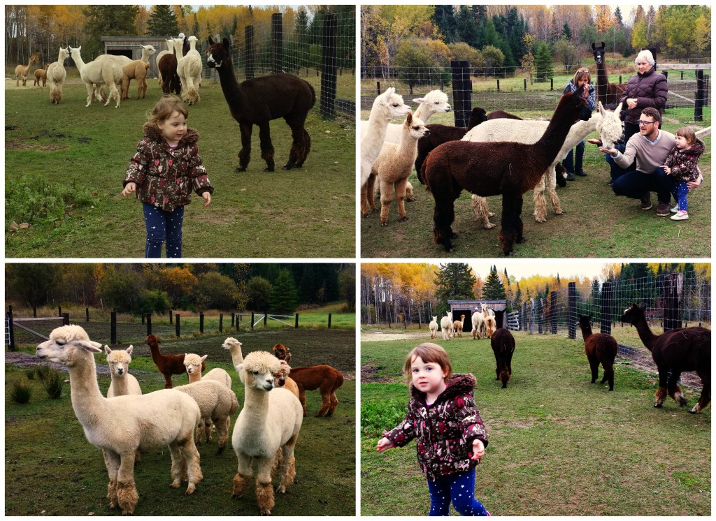 Wee Wednesday: Alpaca Farm | knittedbliss.com